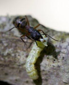 Camponotus iwth caterpillar2
