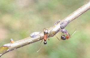 aggresive cc tending treehoppers